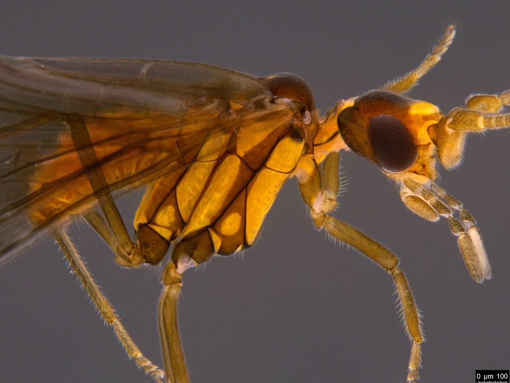 20b - Neosemidalis sp.