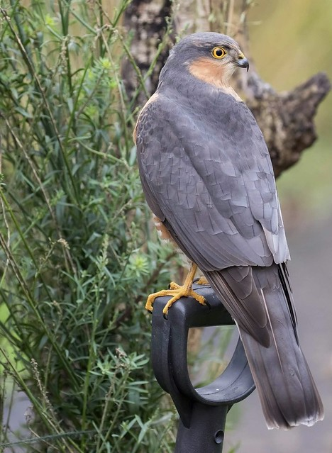 Sparrowhawk ( M )