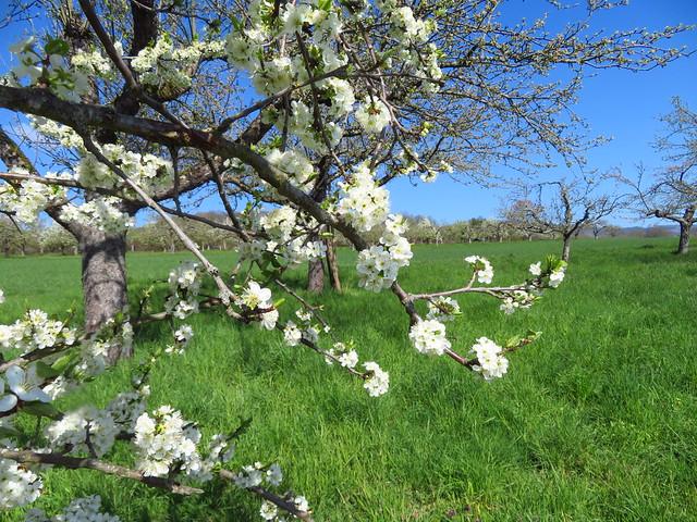 Obstblüten in weiß