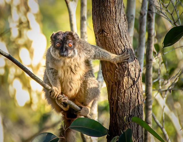Collared Lemur (Eulemur collaris)