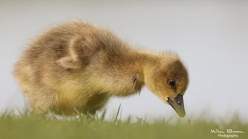 nederland netherlands natuur nature alblasserwaard alblasserdam holland canonrf100500mmf4571lisusm canonr5 bird vogel