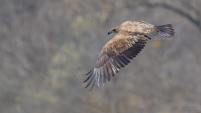 Bald Eagle(J)  8309