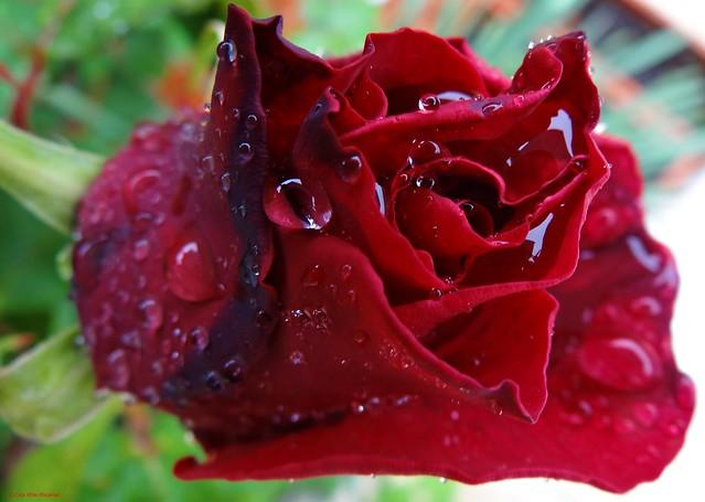 Llueve en Madrid y en mi jardín 😍