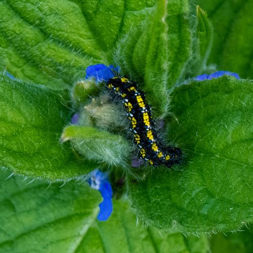 Caterpillar, scarlet tiger moth, on alkanet