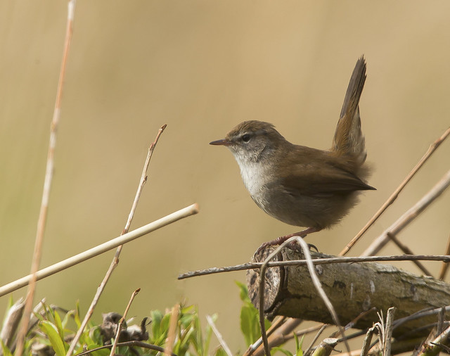 Cetti,s Warbler  Yorkshire England