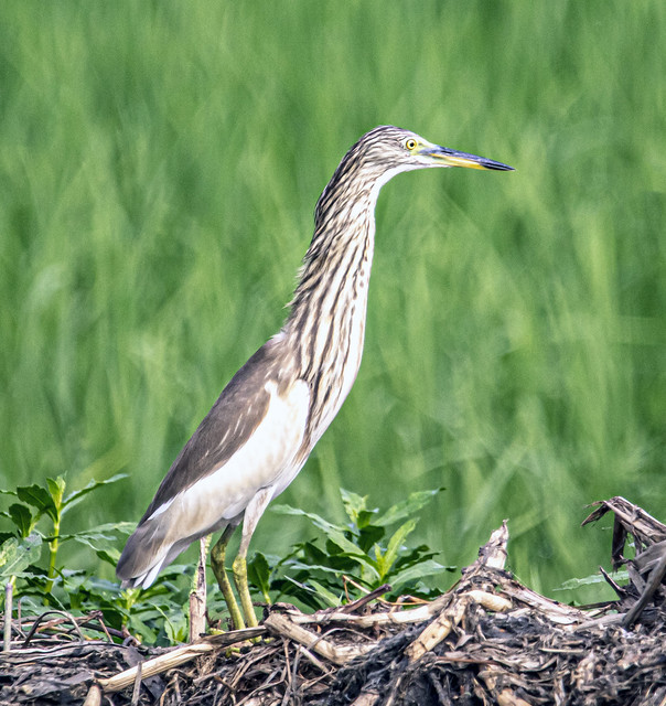 Indian Pond-Heron (Ardeola grayii)