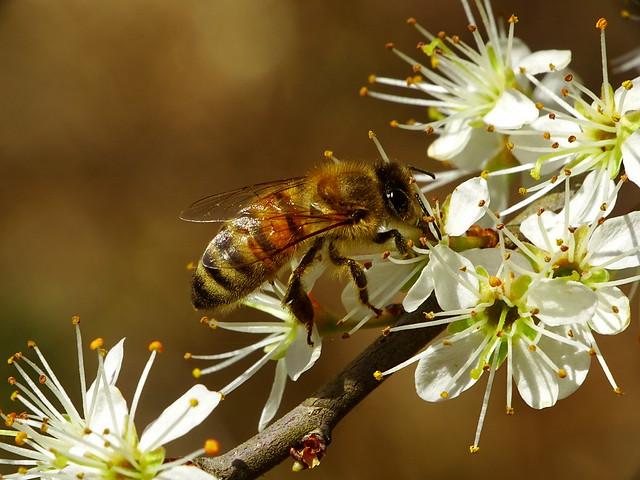 Western Honey Bee - Westliche Honigbiene
