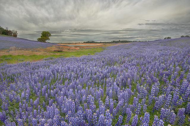 California wildflowers - Lupines