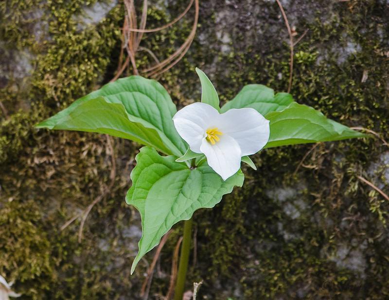 Spring 2021 Trilliums