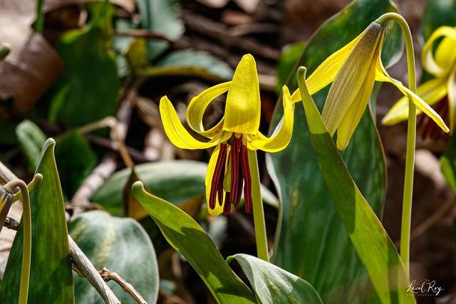 Érythrone d'Amérique / Erythronium americanum / Trout lily
