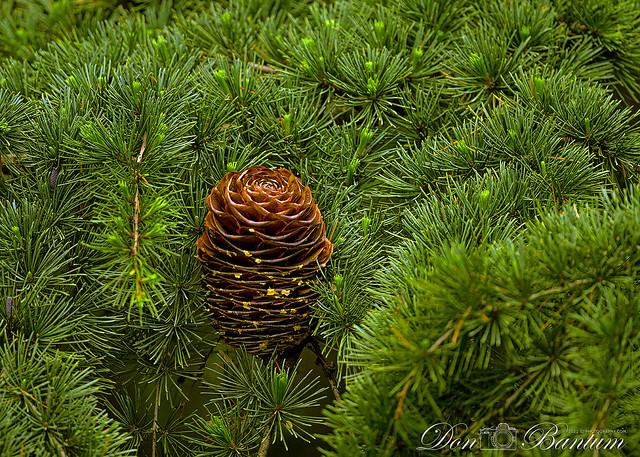 Spruce-Cone_01
