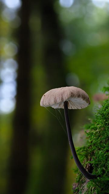Pilz im Wald - Schwindling