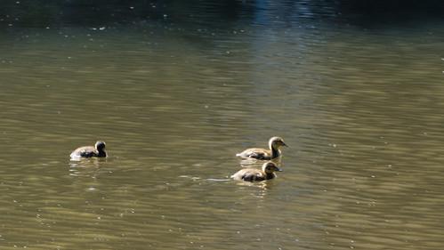 Ducklings, third visit