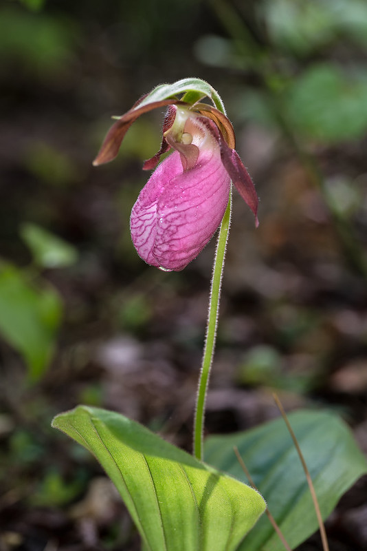 Pink Lady's-slipper orchid