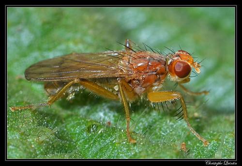 Norellisoma spinimanum