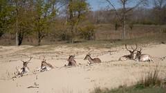 Male Deer resting ...