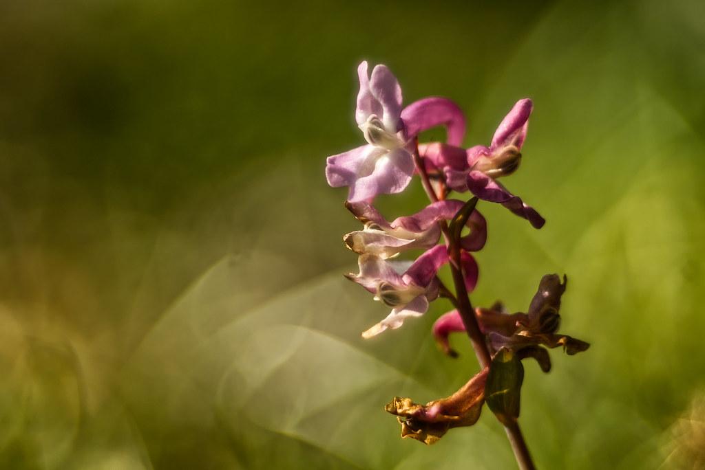 Lerchensporn,  Corydalis