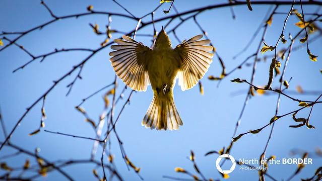ChiffChaff Fly by