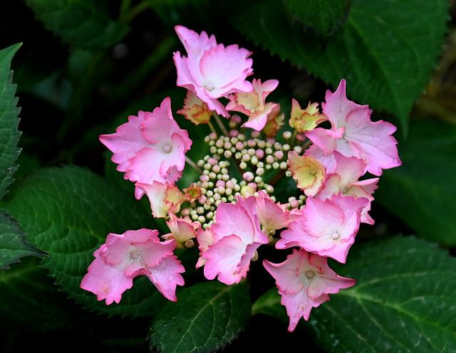 Flors - Hortensia  ( Hydrangea macrophylla )
