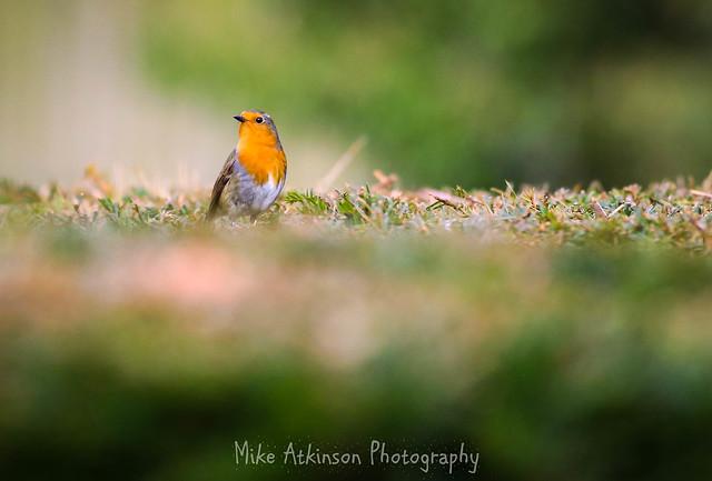 The Hedge-Hopping Robin.