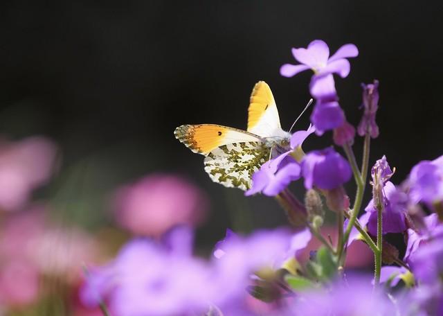 Orange Tip Butterfly (male) - Anthocharis cardamines