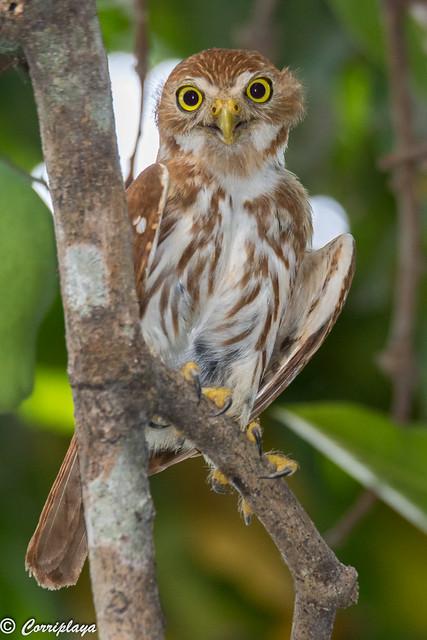 Mochuelo caburé, Glaucidium brasilianum, Ferruginous pygmy-owl
