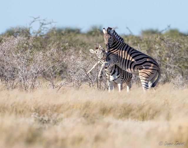 Amorous Zebra-0099