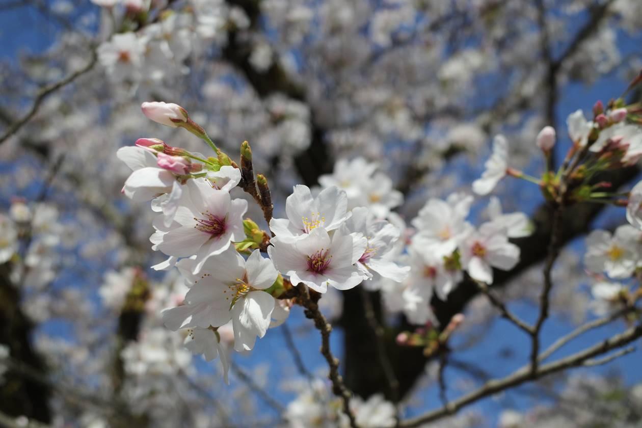 飯能河原の桜