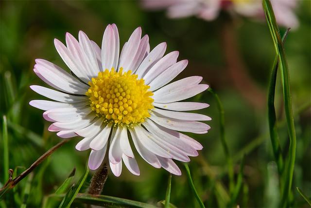 Gänseblümchen - Daisy Flower