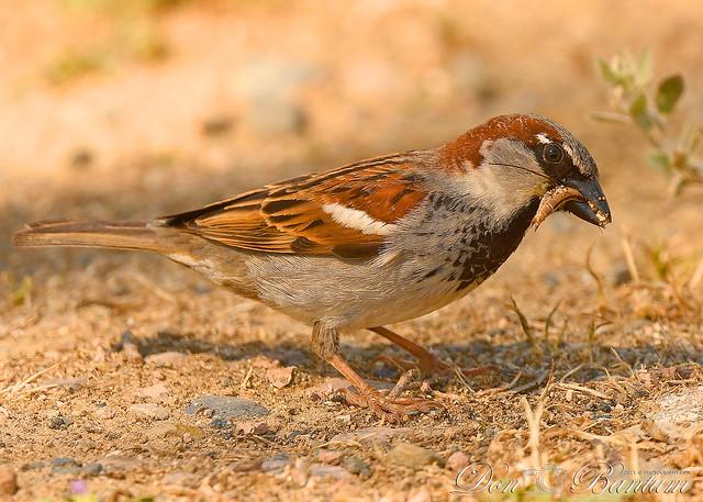 House-Sparrow_03