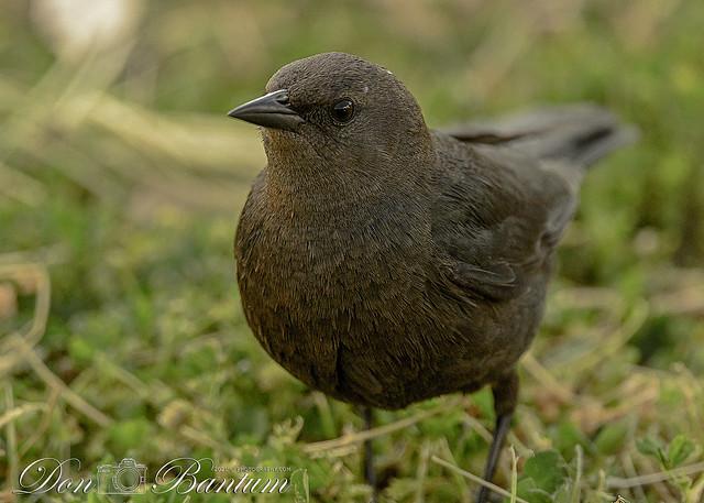 Brewers-Blackbird_03