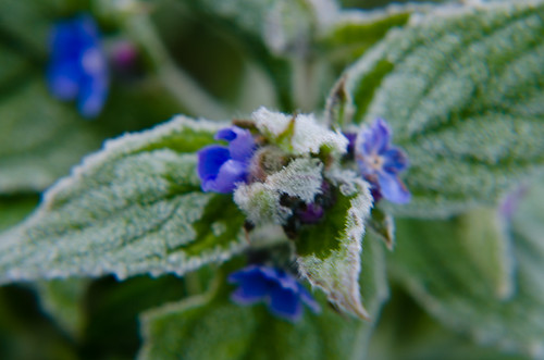 April frost, alkanet flowers