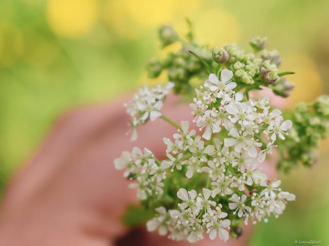 Spring Flowers -  Ajwain