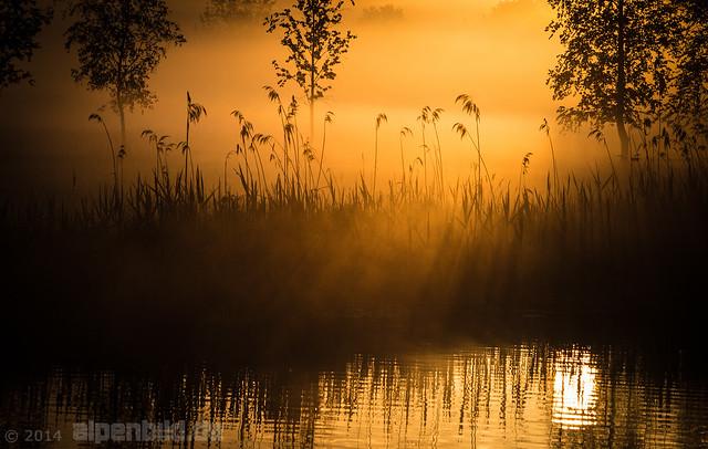 Golden Reed  -  explore.471