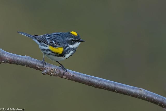 CA3I8129-Yellow-rumped Warbler