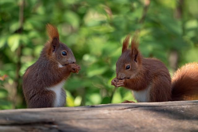Squirrel-Babys