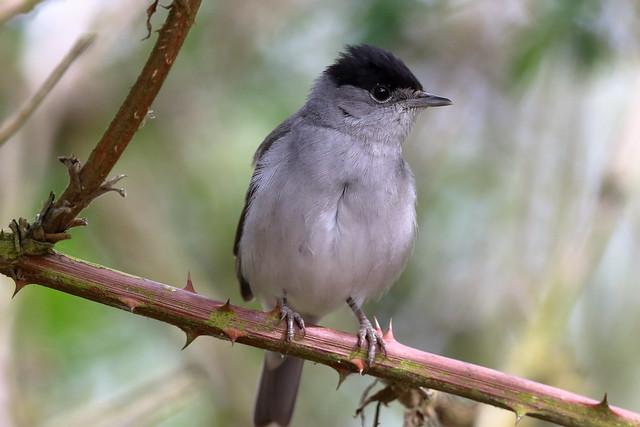 Eurasian Blackcap (Sylvia atricapilla) ♂
