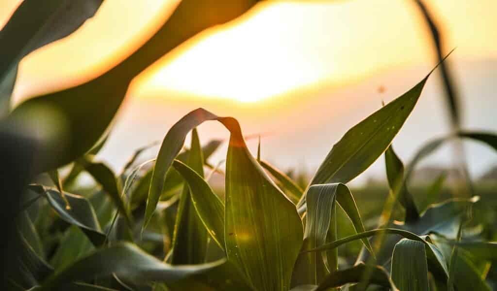 une-eau-plus-propre-grâce-au-maïs