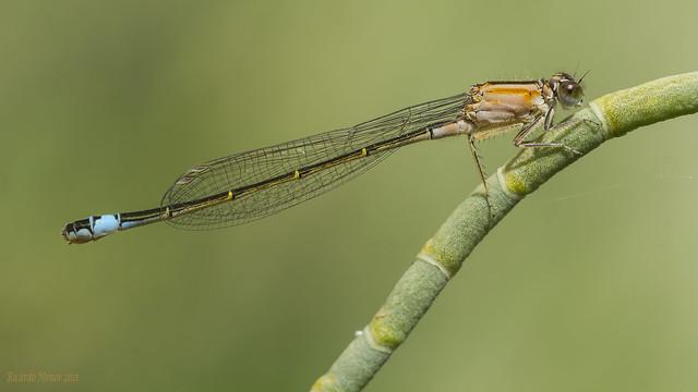 Ischnura elegans. Young female