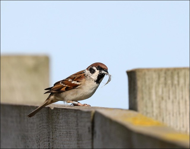 Tree Sparrow with nesting material