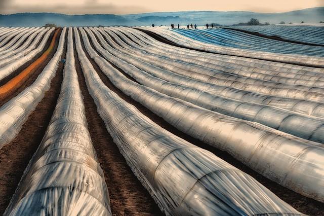 Start of the Asparagus Season (explored)