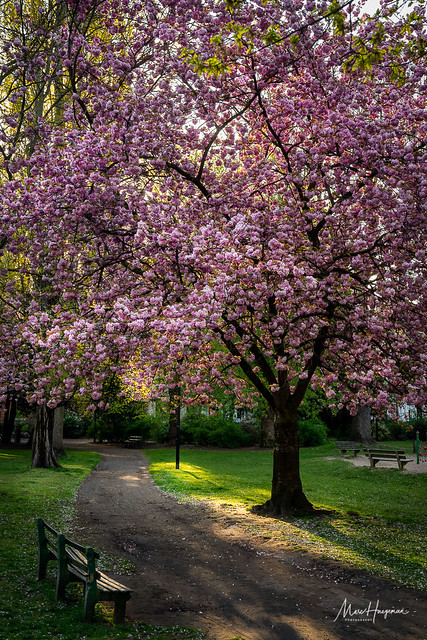 Blossoms in the park