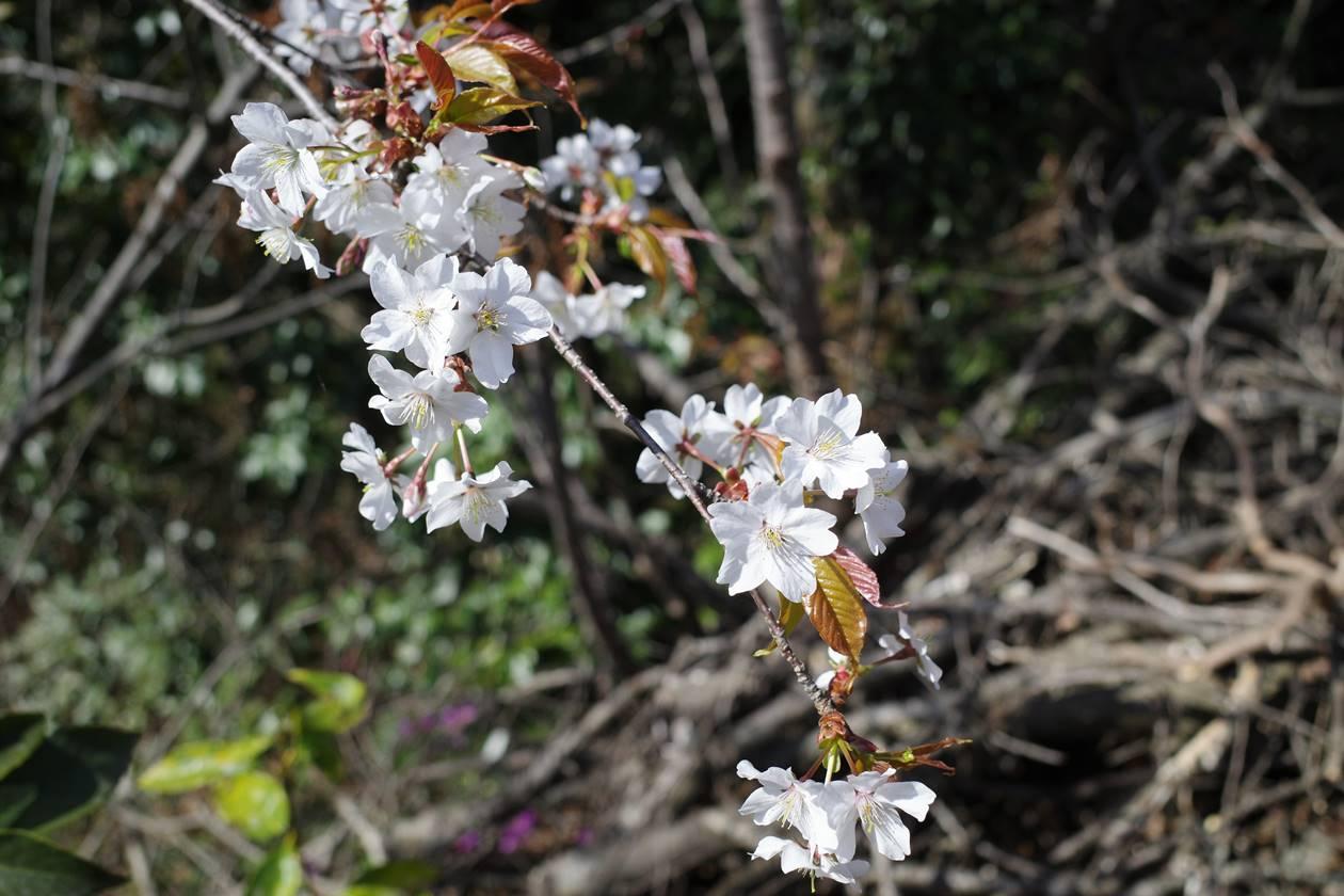 【奥武蔵】天覧山〜多峯主山 登山道の山桜