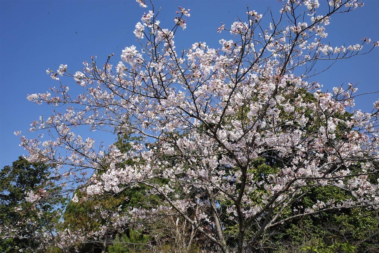 天覧山山頂の桜
