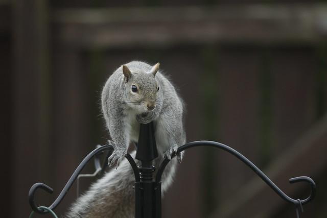 26-04-21_Squirrel_and_magpie075