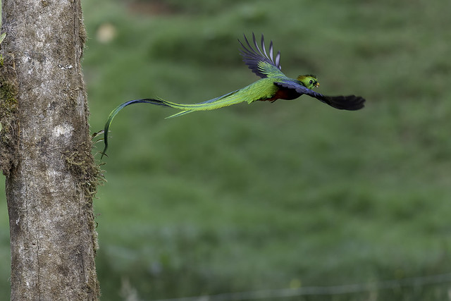 Quetzal-#10