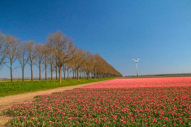 7098 - Flevopolder - Tulpen
