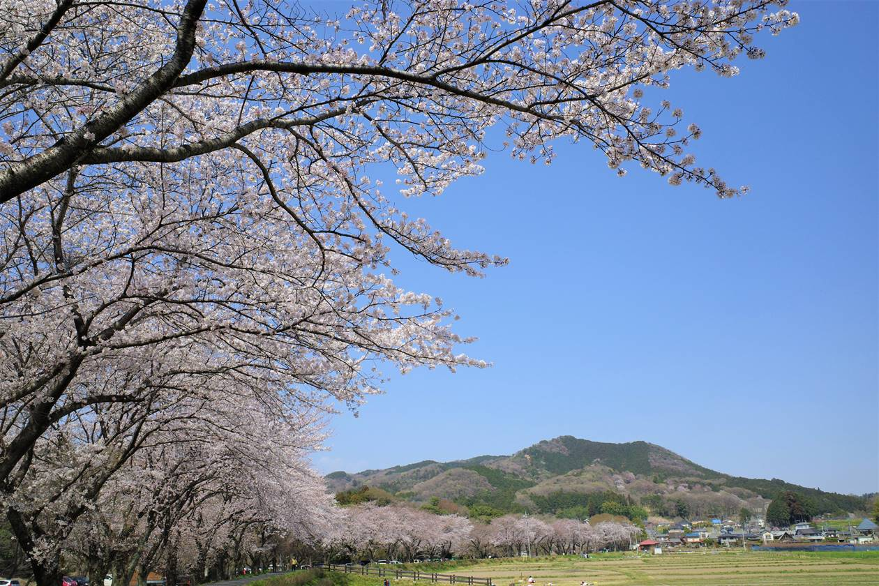【奥武蔵】天覧山〜日和田山 桜満開!春の日帰り登山