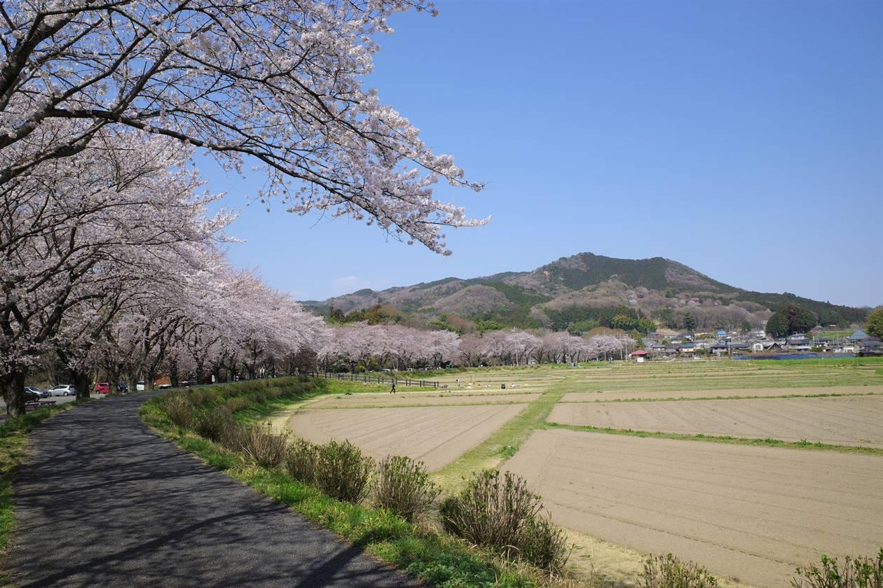 巾着田の桜並木と日和田山
