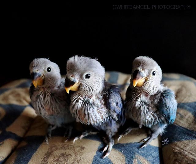 My 3 newborn lovebird blue parrots. (Agapornis roseicollis cobalt blue series) _ I miei neonati inseparabili blu. Ph. by #WhiteANGEL